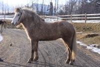 grey Icelandic horse
