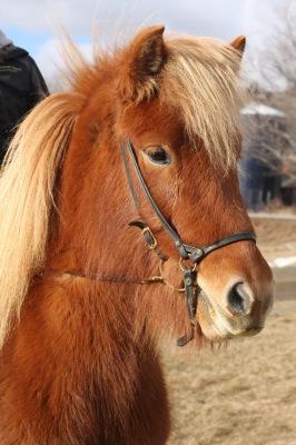 Icelandic horse mare