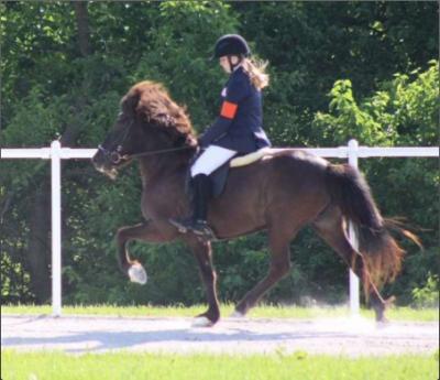 Icelandic horse competing