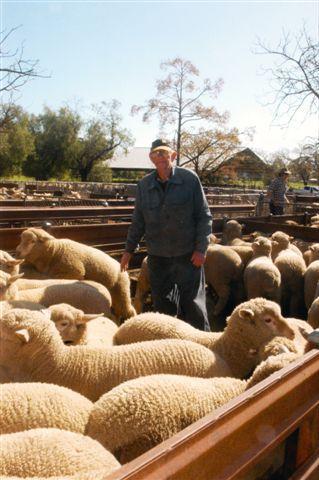 16 week old lambs Sam Chown