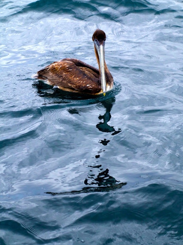 "Pelican, 24"" x 32"" (other sizes on request), 200 editions"