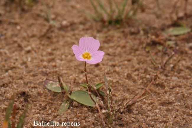 Baldellia-ranunculoides-subsp.-repens