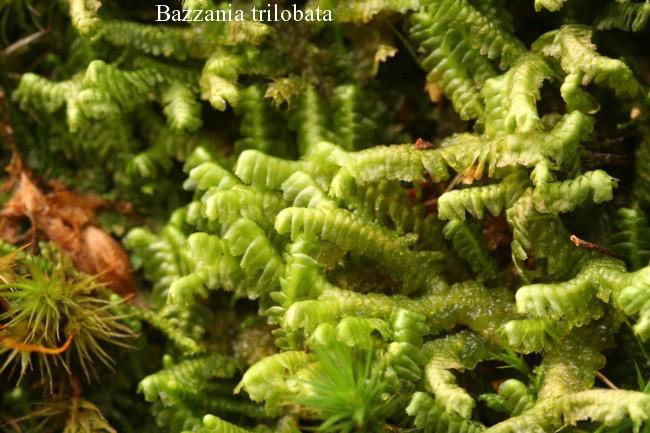 Bazzania-trilobata