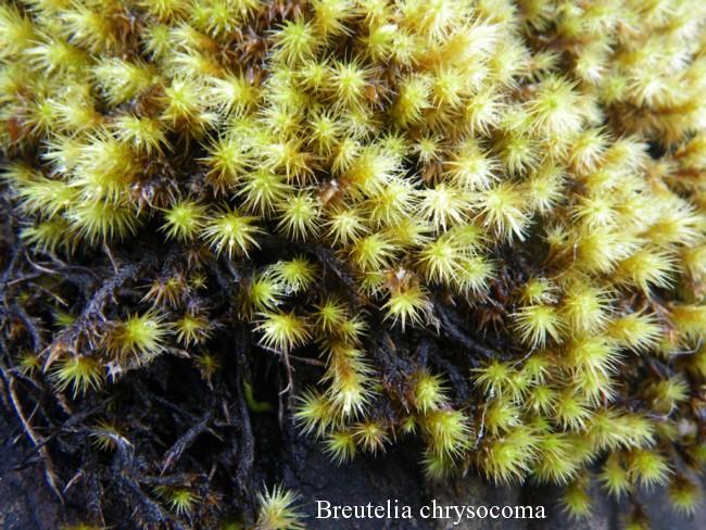 Breutelia-chrysocoma