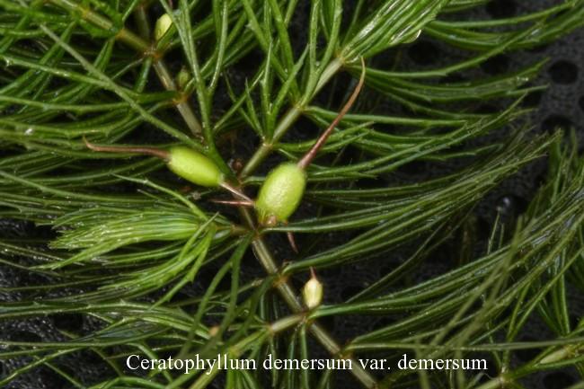 Ceratophyllum-demersum-var.-demersum