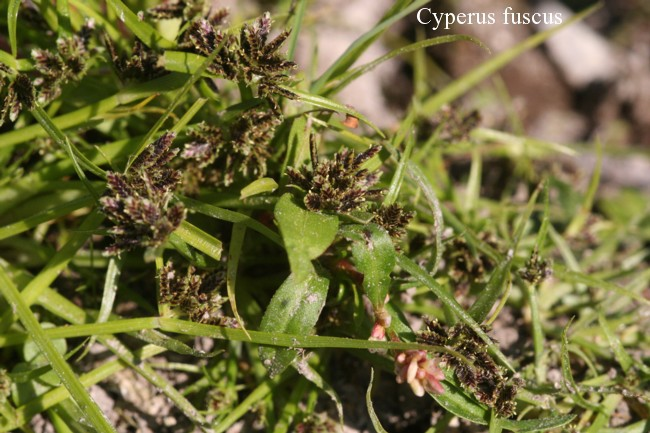 Cyperus-fuscus
