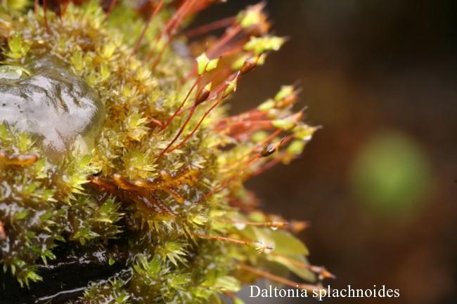 Daltonia-splachnoides