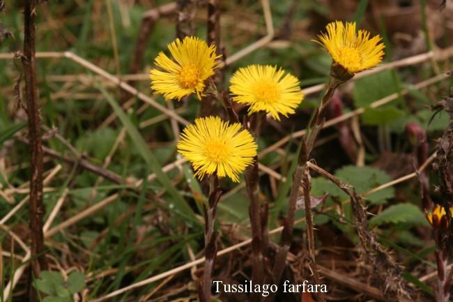 Tussilago-farfara