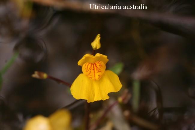 Utricularia-australis