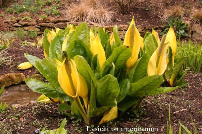 Lysichiton-americanus