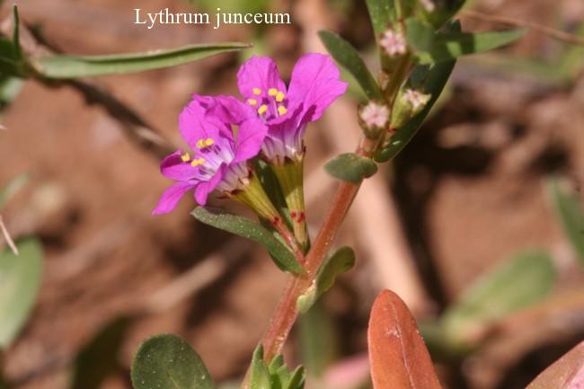 Lythrum-junceum