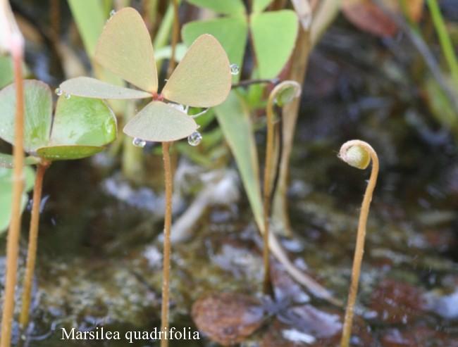 Marsilea-quadrifolia