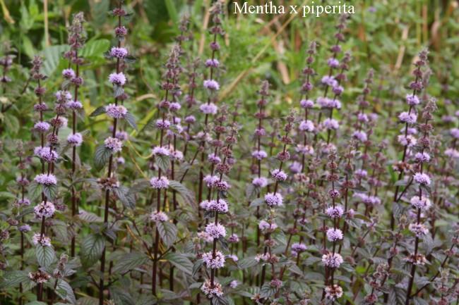 Mentha-x-piperita
