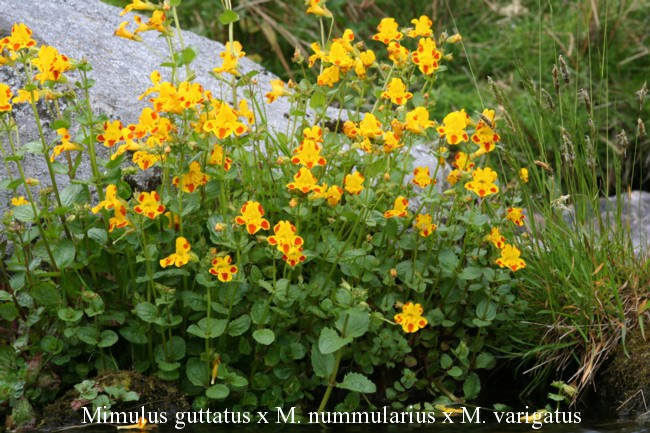 Mimulus-guttatus-x-M.-nummularius-x-M.-varigatus