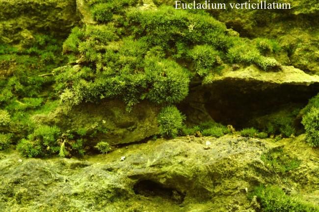 Eucladium-verticillatum