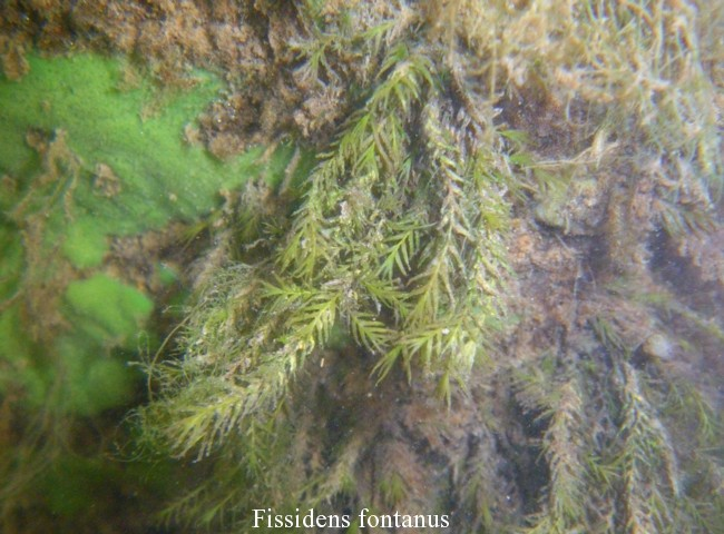Fissidens-fontanus-10