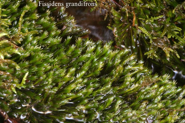 Fissidens-grandifrons