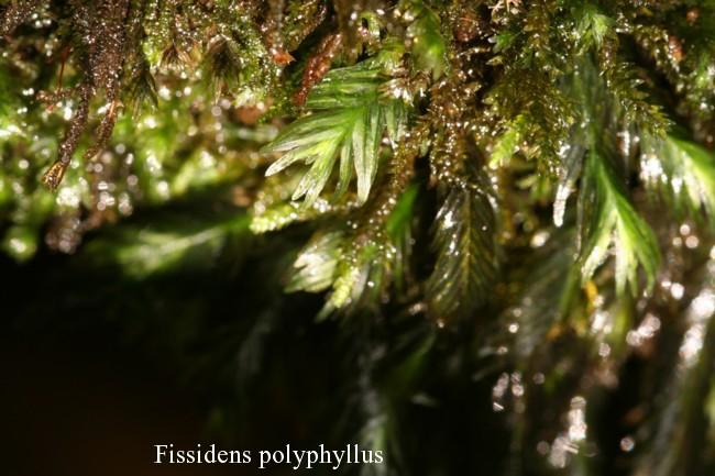 Fissidens-polyphyllus
