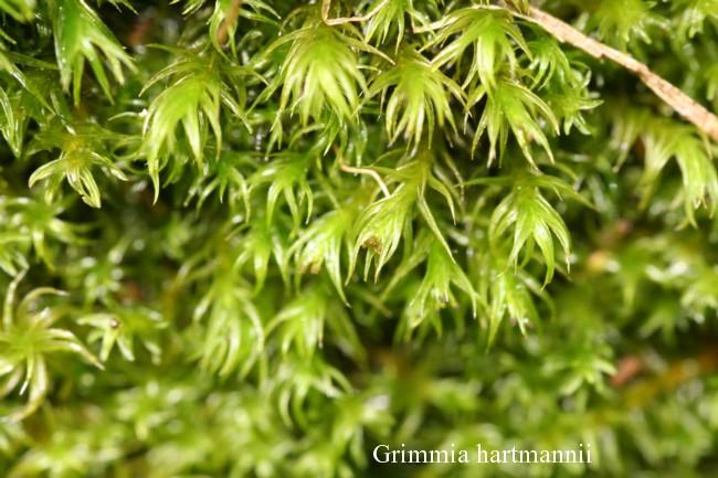 Grimmia-hartmannii