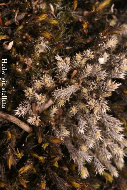 Hedwigia-stellata