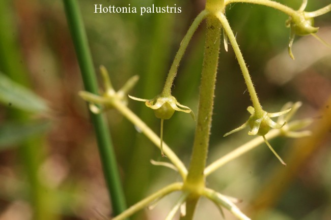 Hottonia-palustris