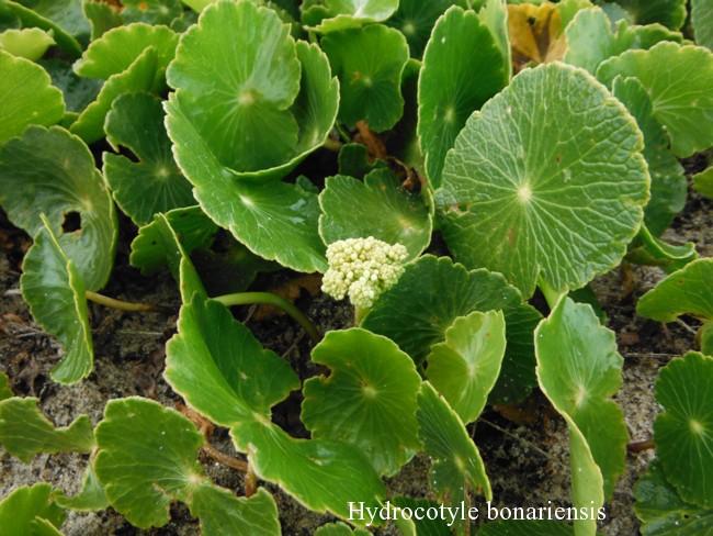 Hydrocotyle-bonariensis