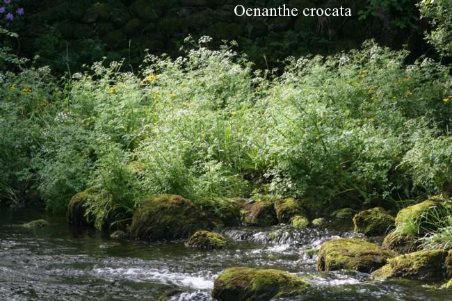 Oenanthe-crocata