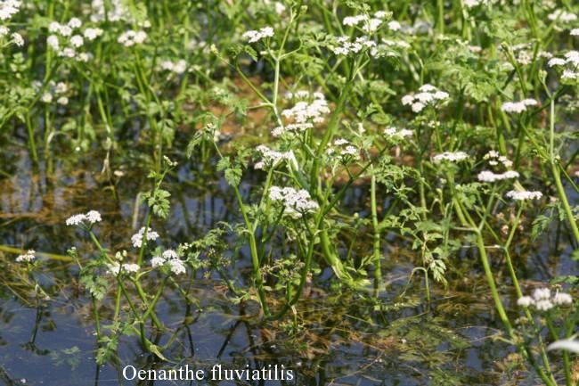 Oenanthe-fluviatilis