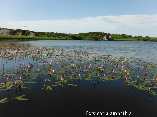 Persicaria-amphibia