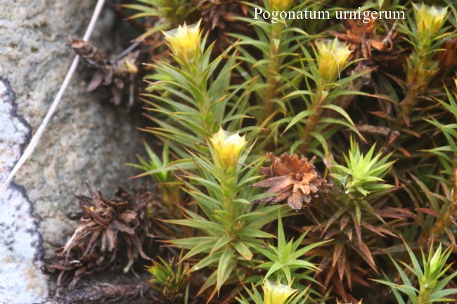 Pogonatum-urnigerum