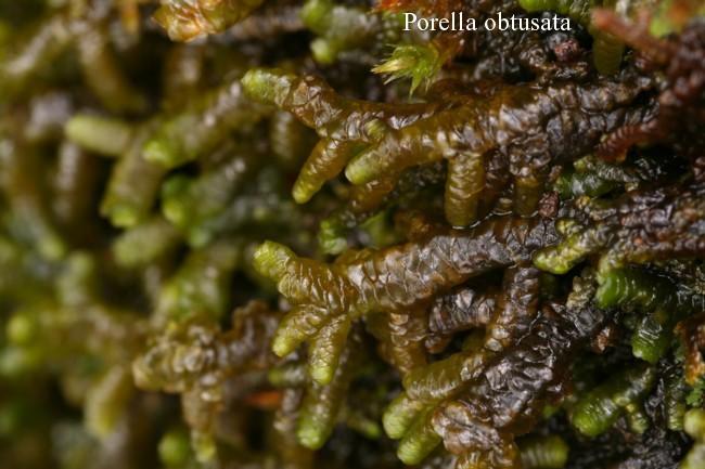 Porella-obtusata