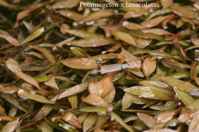 Potamogeton-x-lanceolatus
