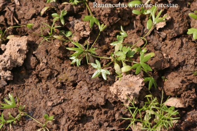 Ranunculus-x-novae-forestae
