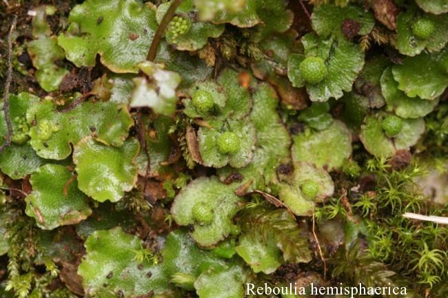 Reboulia-hemisphaerica