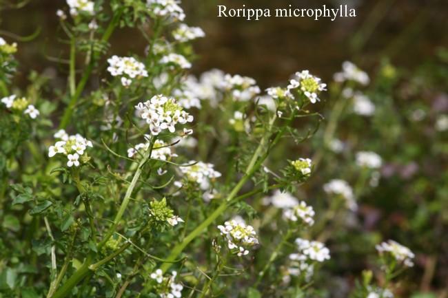 Rorippa-microphylla