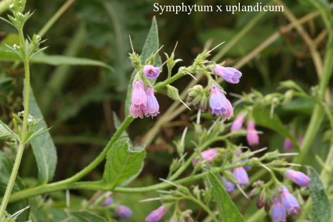 Symphytum-x-uplandicum