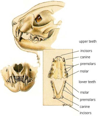 Anatomy Of Cats Jaw