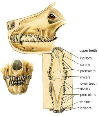 Anatomy Of Dogs Jaw