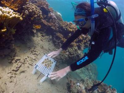 Jen Davidson places corals on a reef in Kaneohe Bay. Photo: Associated Press