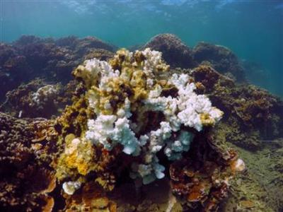 Coral bleaching in the second consecutive bleaching event in Hawaii. Photo: Associated Press