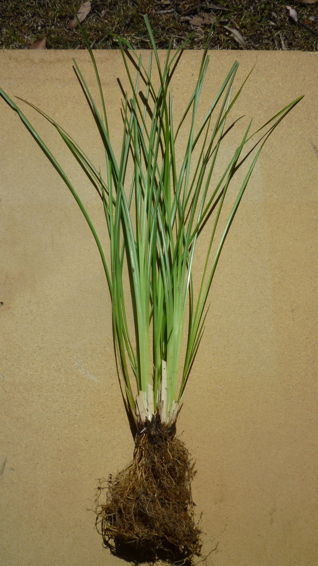 Established Monto Vetiver plant