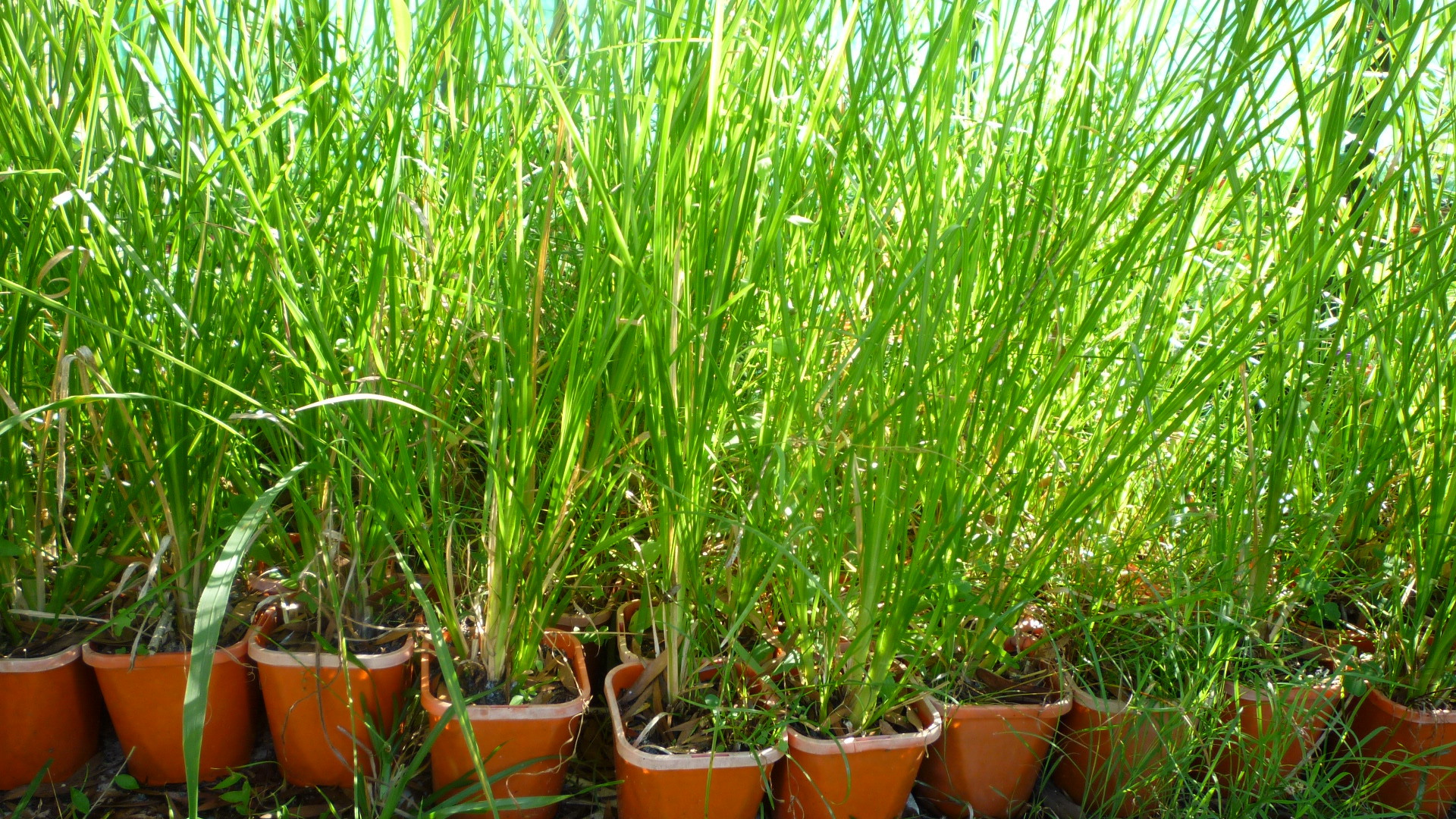 Monto Vetiver grass
