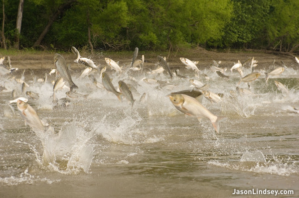 Asian Carp: Where did they come from?