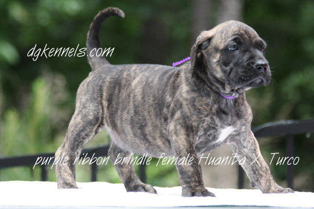Presa Canario Puppies For Sale From D Amp G Kennels