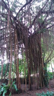 The Banyan tree speaks...