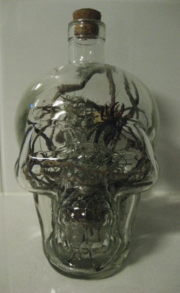 Skull terrarium with airplant and insects