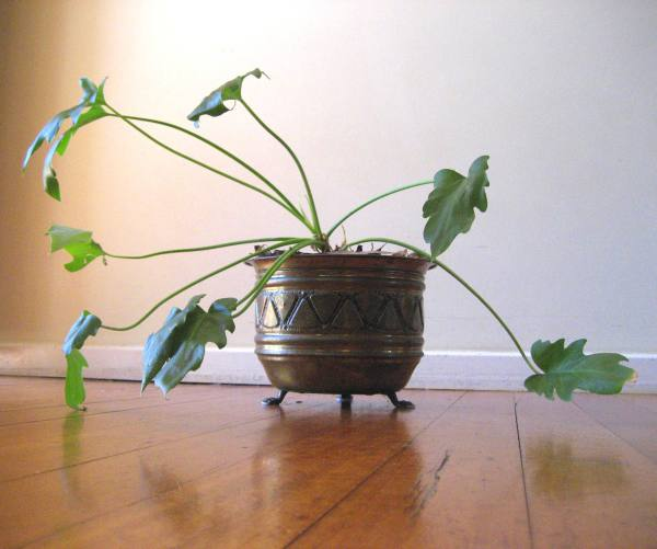 Old-fashioned philodendron pot.