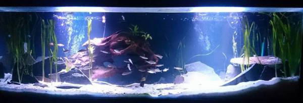 Tanganyikan cichlid scape with driftwood, basalt & val