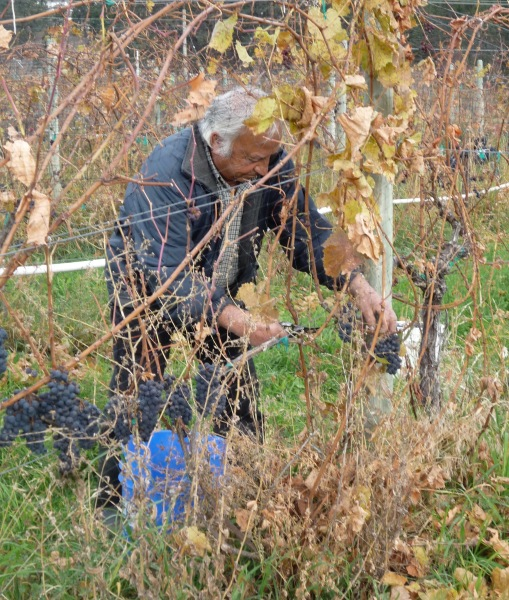 Nonno pickng Pinot Nero