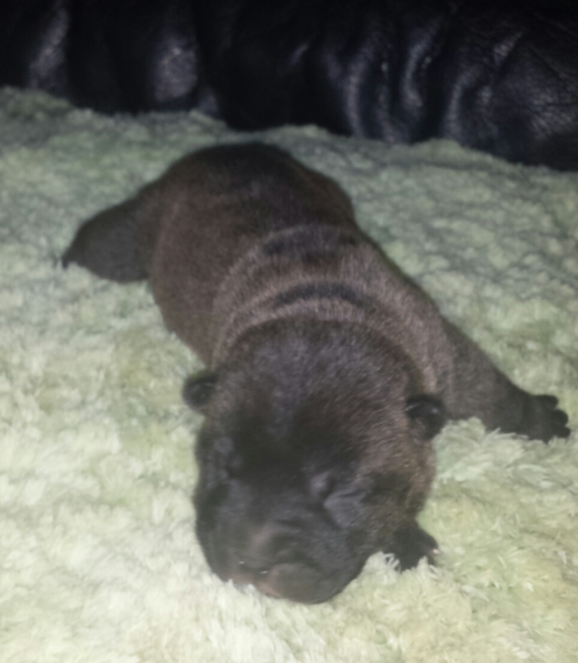 On Hold - Silver Sable @ 1 Week